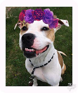 Terrier (Unknown Type, Medium) Mix Dog for adoption in Piqua, Ohio - Roxy