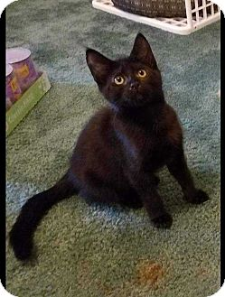 Domestic Shorthair Kitten for adoption in Youngsville, North Carolina - Sagie