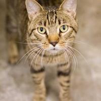 Adopt A Pet :: Tom Cat - Independence, MO