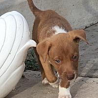 Adopt A Pet :: Skylar - Albuquerque, NM