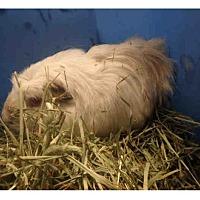 Adopt A Pet :: *Urgent* Josie - Fullerton, CA