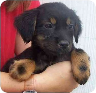 Dachshund Mix Puppy for adoption in Chapel Hill, North Carolina - Shoestring