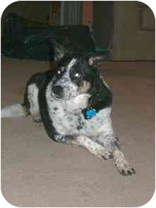 Australian Cattle Dog/Border Collie Mix Dog for adoption in Phoenix, Arizona - Cricket