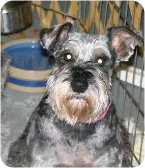 Schnauzer (Miniature) Dog for adoption in North Benton, Ohio - Lilly hypo allergenic