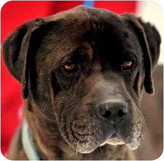 Bullmastiff/Labrador Retriever Mix Dog for adoption in Pawling, New York - FABLE