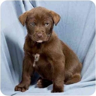 Labrador Retriever Puppy for adoption in Anna, Illinois - GRADY