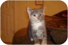 Calico Kitten for adoption in Seneca, South Carolina - CALLIE