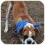Photo 4 - Boxer Dog for adoption in White Plains, New York - Mr. McGoo