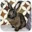 Photo 2 - Flemish Giant Mix for adoption in Maple Shade, New Jersey - Koko