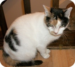 Domestic Shorthair Cat for adoption in Philadelphia, Pennsylvania - PUMPKIN