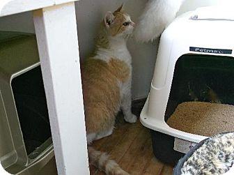 Domestic Shorthair Cat for adoption in Orillia, Ontario - Tiny