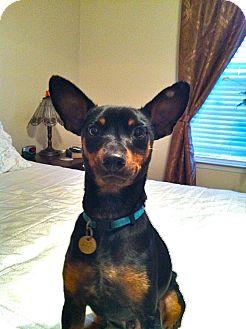 Miniature Pinscher Dog for adoption in Nashville, Tennessee - Jazzy