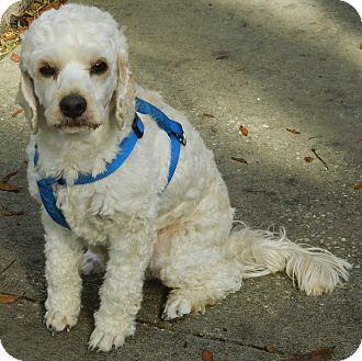Cockapoo/Cockapoo Mix Puppy for adoption in Umatilla, Florida - Skippy