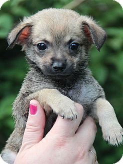 Dachshund/Chihuahua Mix Puppy for adoption in Yuba City, California - Two Bits