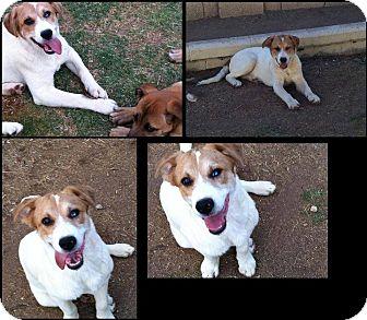 Australian Shepherd Mix Puppy for adoption in Gilbert, Arizona - Joey
