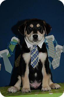 Border Collie/Shepherd (Unknown Type) Mix Puppy for adoption in Flower Mound, Texas - Louie