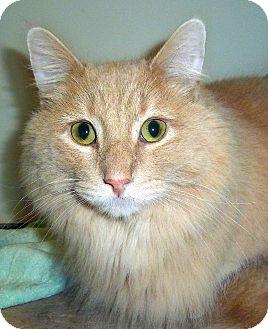 Domestic Longhair Cat for adoption in Carmel, New York - Tiger Irwin