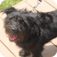 Schnauzer (Miniature) Mix Dog for adoption in Chicago, Illinois - Gigi