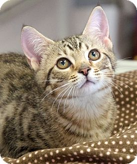 Domestic Shorthair Kitten for adoption in Chattanooga, Tennessee - Ricki Stardust