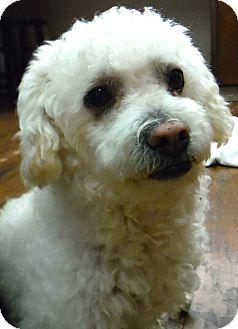 Poodle (Miniature) Dog for adoption in Dublin, California - Casanova