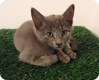 Domestic Mediumhair Kitten for adoption in Hinesville, Georgia - Gus