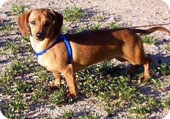 Dachshund Dog for adoption in Chandler, Arizona - Little Bit