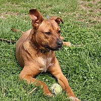 Pit Bull Terrier/Labrador Retriever Mix Dog for adoption in Pulaski, Tennessee - Fitz
