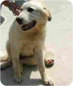 Great Pyrenees Dog for adoption in Dahlonega, Georgia - Pooka