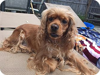 Cocker Spaniel Mix Dog for adoption in Mentor, Ohio - Bella 3yr Adopted