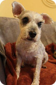 Schnauzer (Miniature) Dog for adoption in Allentown, Pennsylvania - Bender