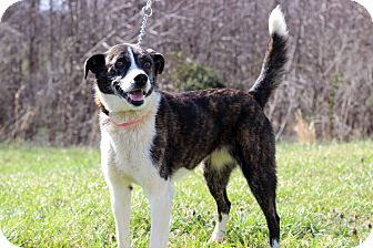 Labrador Retriever Mix Dog for adoption in Waldorf, Maryland - Ashley