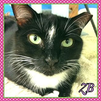 Domestic Shorthair Cat for adoption in Huntington, New York - ZB