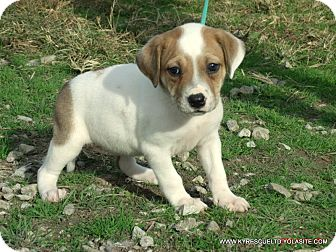 Bulldog/Beagle Mix Puppy for adoption in parissipany, New Jersey - CLAIRE/ADOPTED