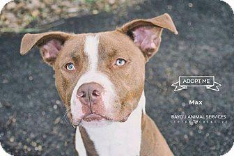 Pit Bull Terrier/Labrador Retriever Mix Dog for adoption in Dickinson, Texas - Max