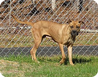 Boxer Mix Dog for adoption in Henderson, North Carolina - Bella  (HW Pos)**