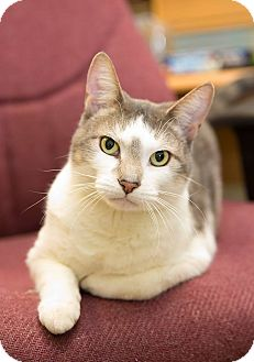Domestic Shorthair Cat for adoption in Schererville, Indiana - Rhino
