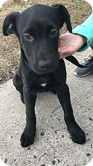 Labrador Retriever Mix Puppy for adoption in Franklinville, New Jersey - Cyrano