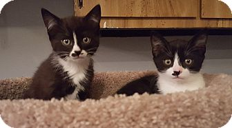 Domestic Shorthair Kitten for adoption in Mount Clemens, Michigan - Holly & Simon