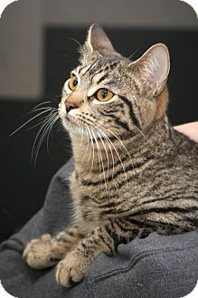 Domestic Shorthair Cat for adoption in Anderson, Indiana - Cherry