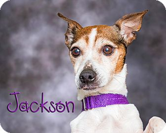 Jack Russell Terrier Dog for adoption in Somerset, Pennsylvania - Jackson