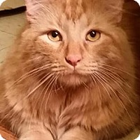 Domestic Longhair Cat for adoption in New York, New York - Edgar