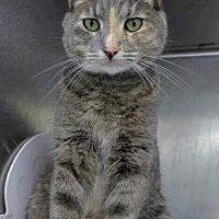 Adopt A Pet :: Grey - LaGrange Park, IL