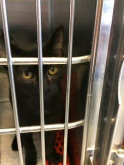 Domestic Shorthair/Domestic Shorthair Mix Cat for adoption in Savannah, Tennessee - Rags