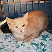 Domestic Shorthair Kitten for adoption in Washburn, Missouri - Maggie