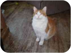 Domestic Mediumhair Cat for adoption in North Boston, New York - Zarf