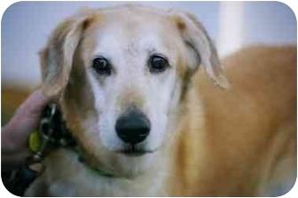 Labrador Retriever/Golden Retriever Mix Dog for adoption in Smithtown, New York - Grady :o)