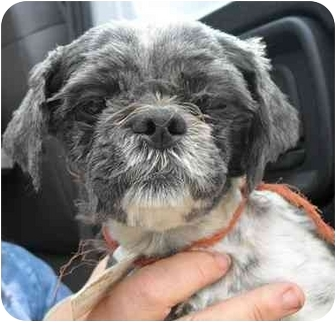 Shih Tzu Dog for adoption in Lonedell, Missouri - ChaCha