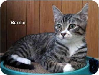 Domestic Shorthair Cat for adoption in Portland, Oregon - Bernie