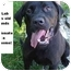 Photo 1 - Labrador Retriever Mix Dog for adoption in Zanesville, Ohio - # 231-10 @ Animal Shelter