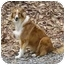Photo 3 - Collie Dog for adoption in Baldwin, New York - Sunny